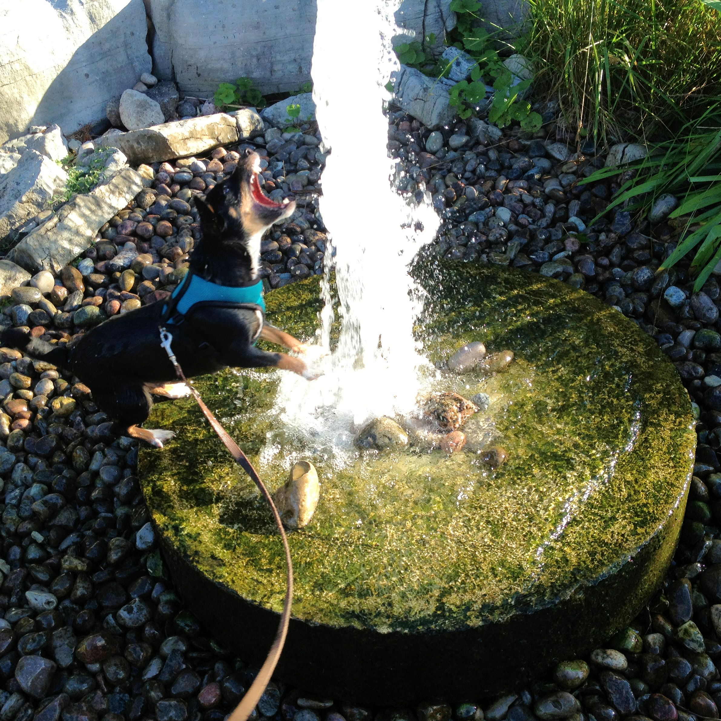 Bella attacking a water fountain
